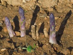 First asparagus (photo by Kenton Smith)