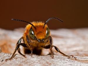 Sleepy bee (photo by Kenton Smith)