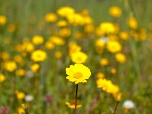 Manuel's nemesis - wild flowers! (photo by Kenton Smith)