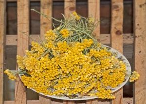 Lujos chamomile (photo by Kenton Smith)