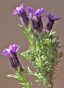 Lujos lavender (photo by Kenton @ imagenary.co.uk)