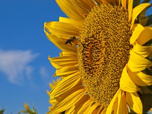 A bee enjoying the summer sunflowers (image by Kenton @ imagenary.co.uk)