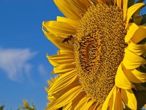 A bee enjoying the summer sunflowers (image by Kenton @ imagenary.co.uk)