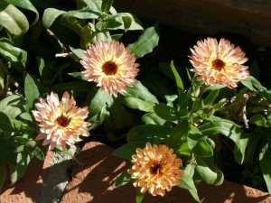 Calendula blooming in October!