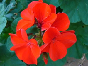 Geraniums, my favorite flowers