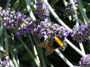 Lujos lavender