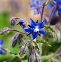 Lujos flower / borage plant