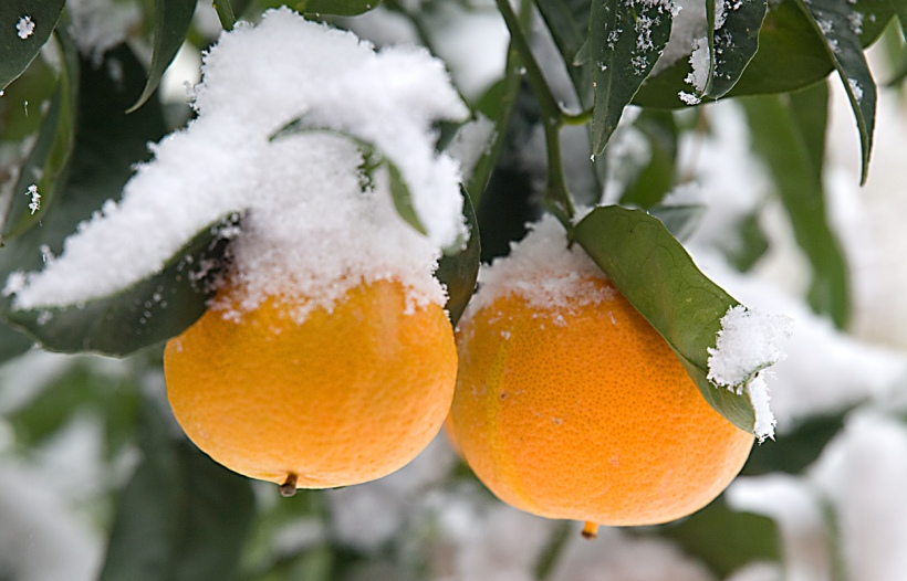 Orange tree in the snow at Casa Tyr