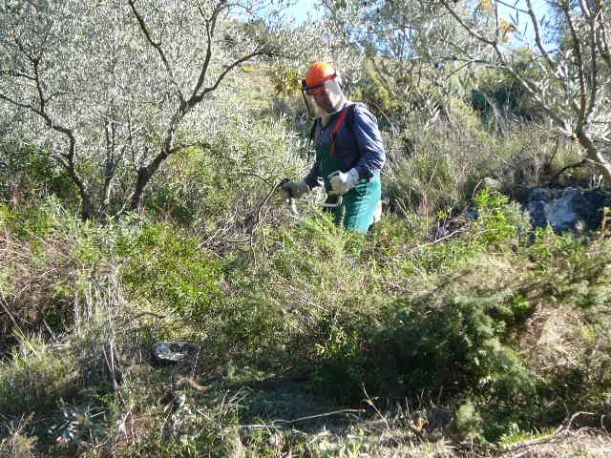 Pruning under the olive trees
