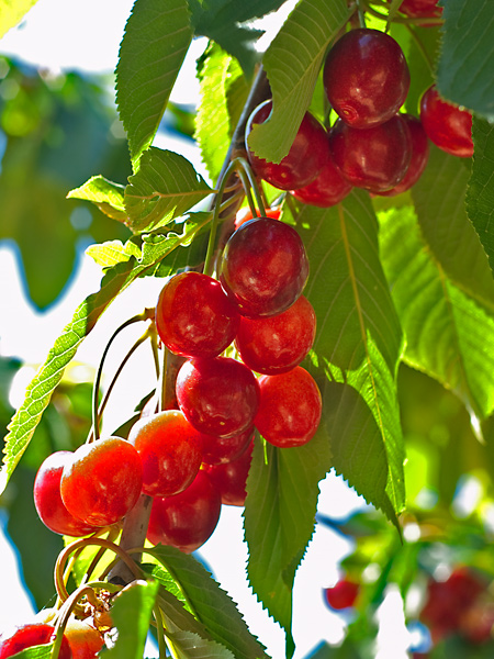Casa Tyr cherries