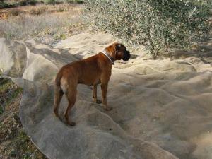 Milo  helping during olive harvest 2011